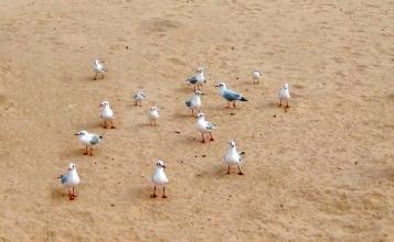 Gulls Modifyed
